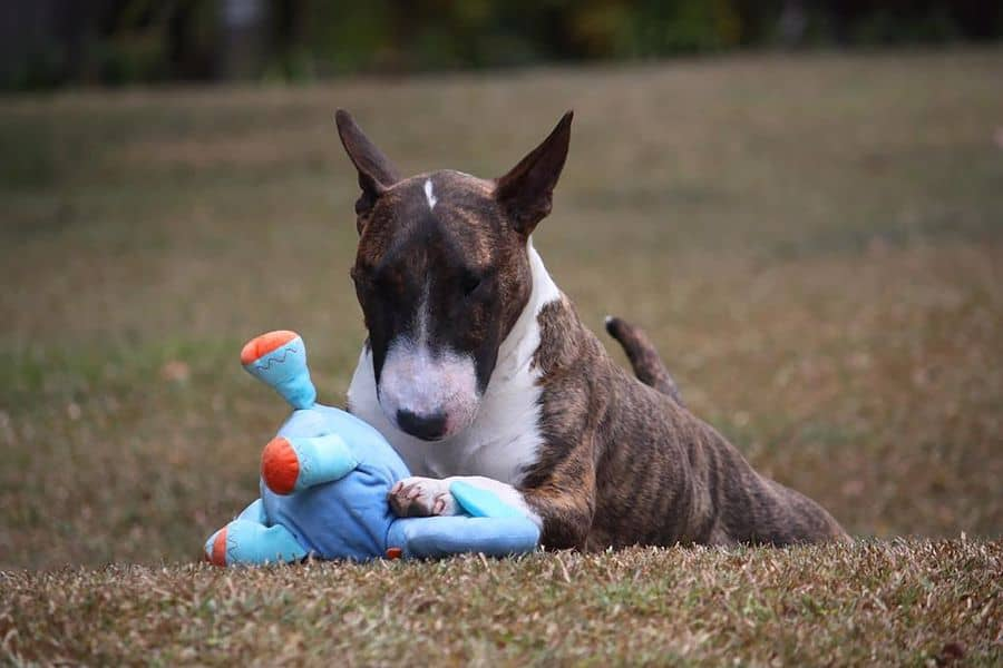 Bull Terrier playing with his blue toy