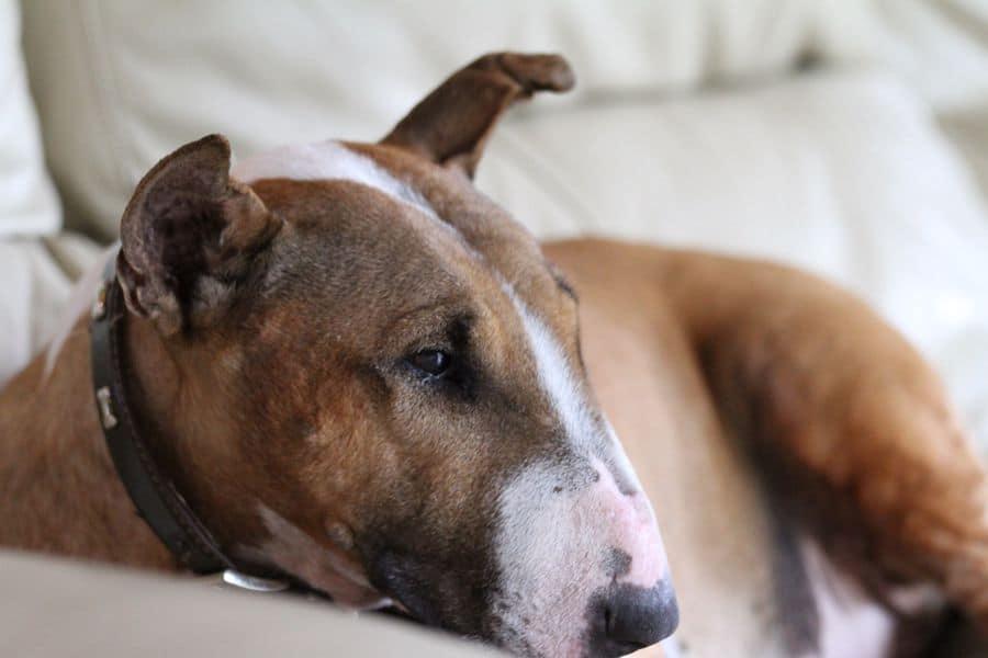 Bull Terrier sitting on the sofa
