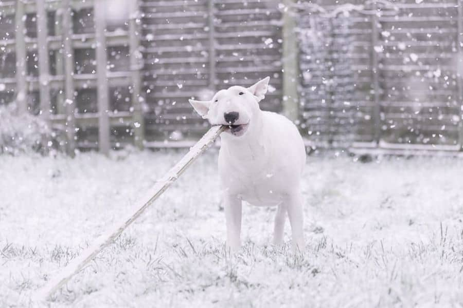 Bull Terrier playing with a stick on a snowy day