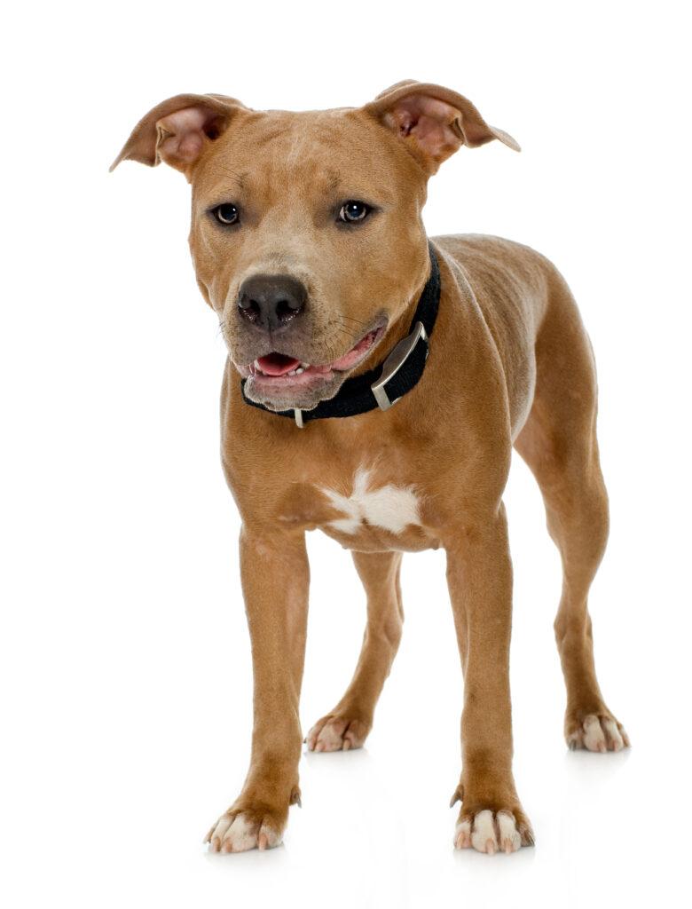 Terrier Pit Bull