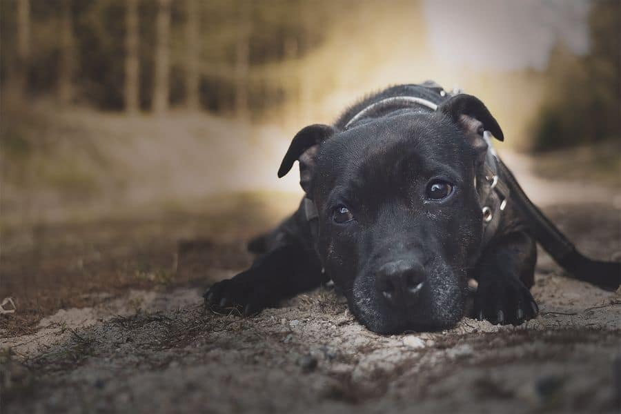 Staffordshire Bull Terrier resting on the pavement