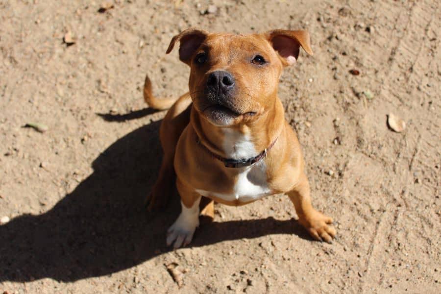Staffordshire Bull Terrier on a beach sand