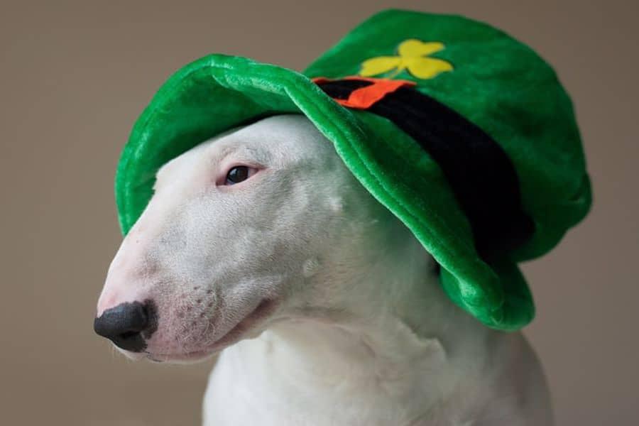 Bull Terrier wearing a green hat