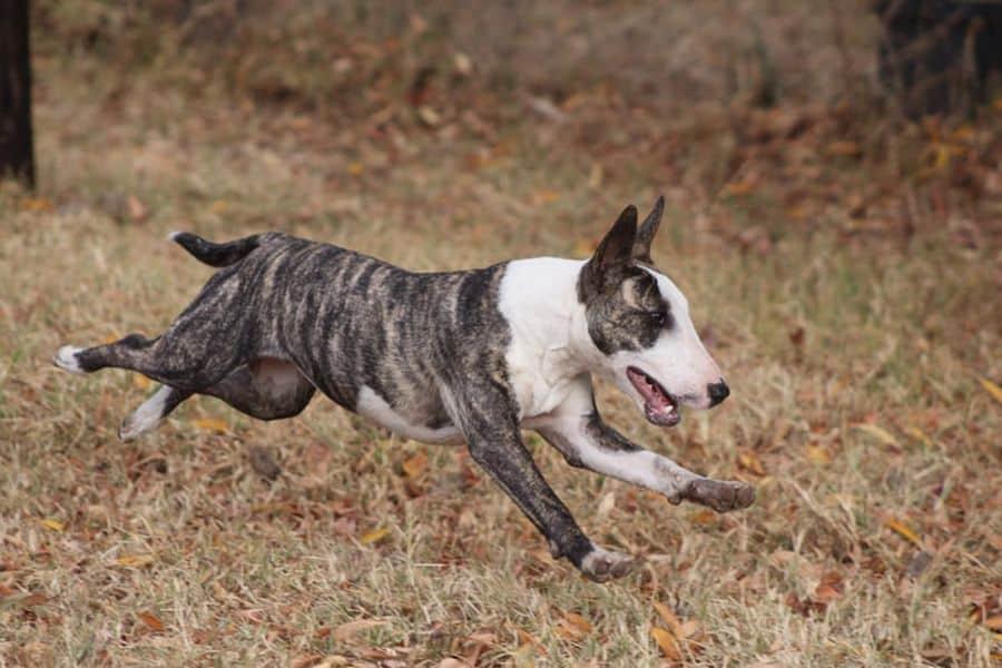 Bull terrier running outdoors