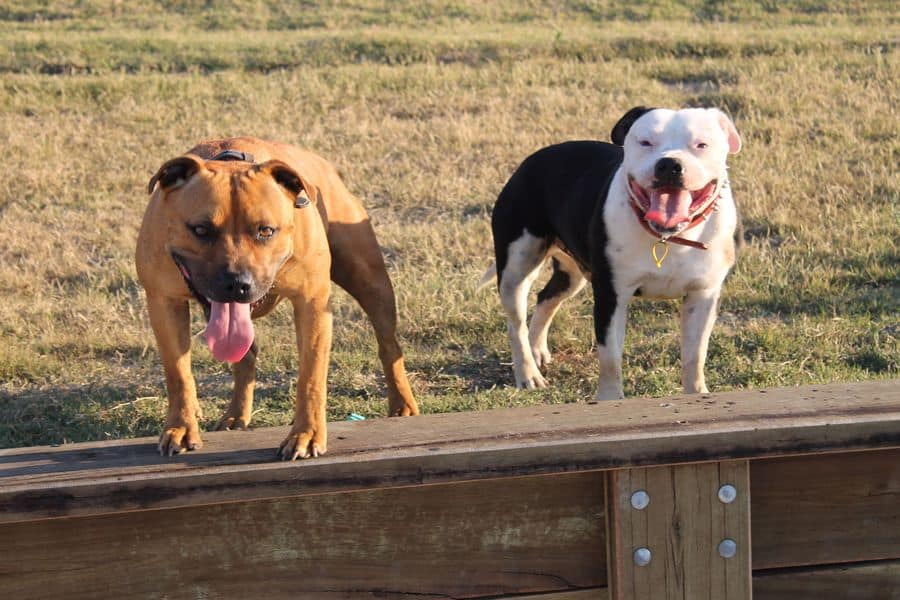 Irish Staffordshire Bull Terrier and a Pit Bull