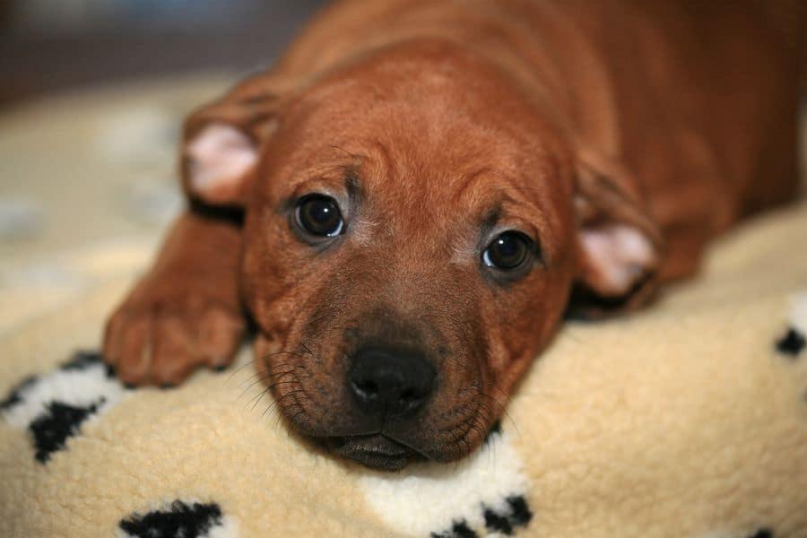 Irish Staffordshire Bull Terrier puppy