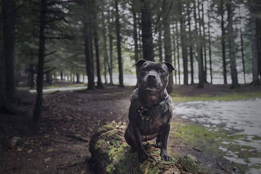 Staffordshire Bull Terrier perched on a tree log in the ground