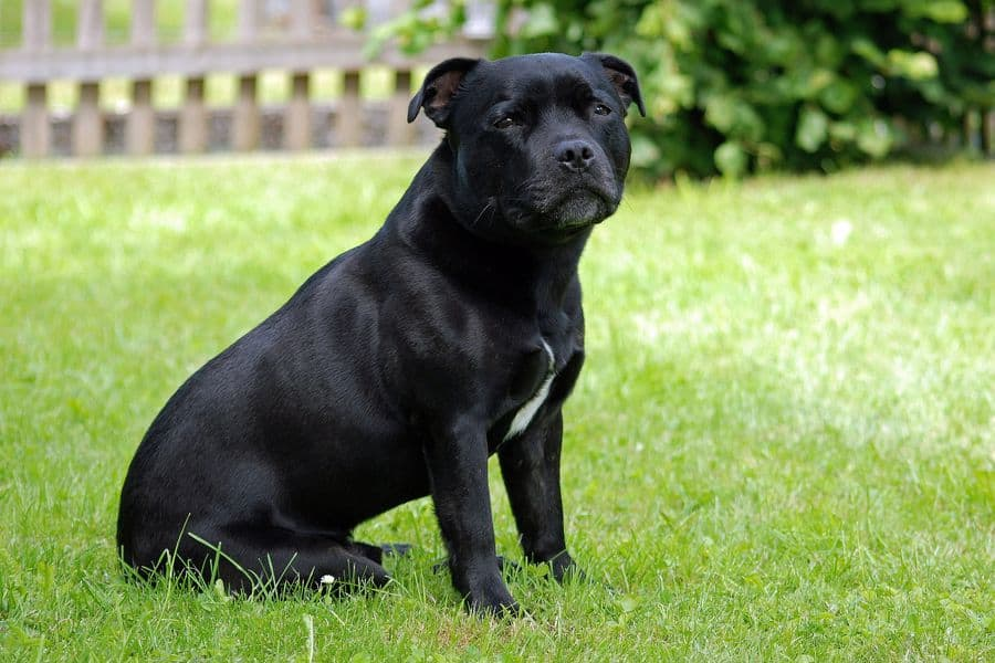 Staffordshire Bull Terrier sitting on the grass