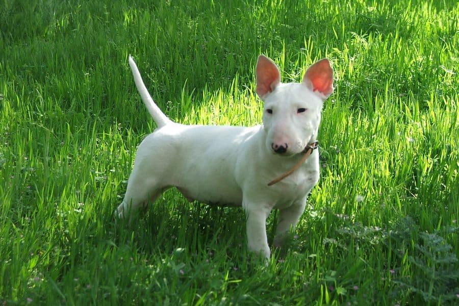 Bull Terrier standing on the grass