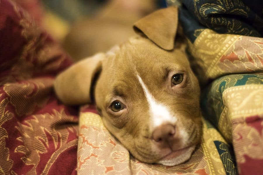 Pit Bull Terrier puppy