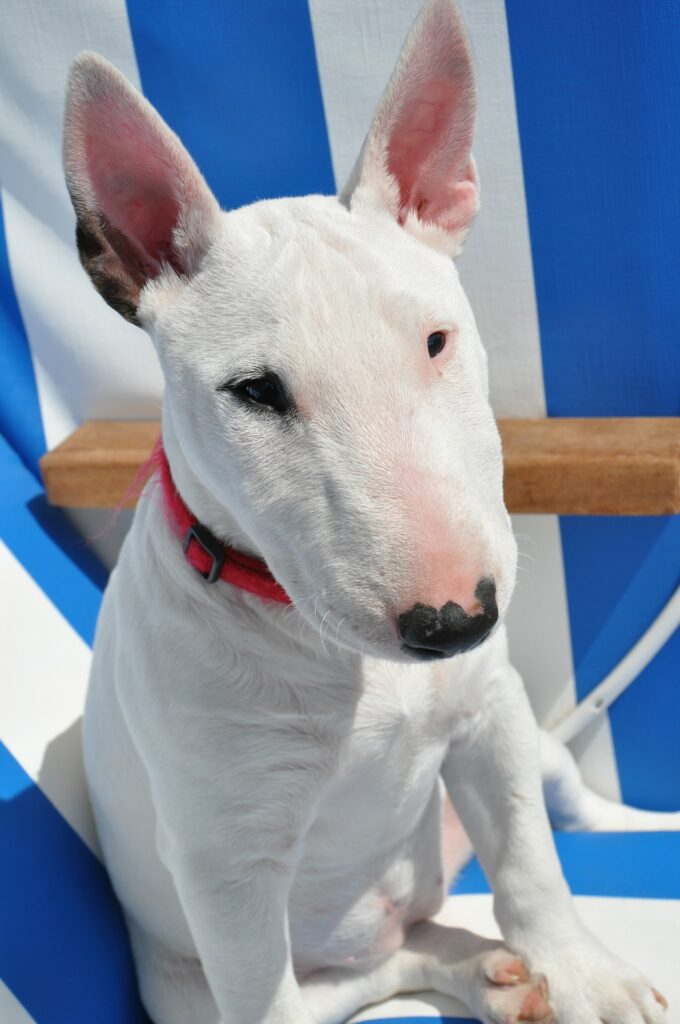 Bull Terrier sitting on the chair