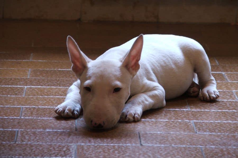 English Bull Terrier tucking his nose before he sleeps