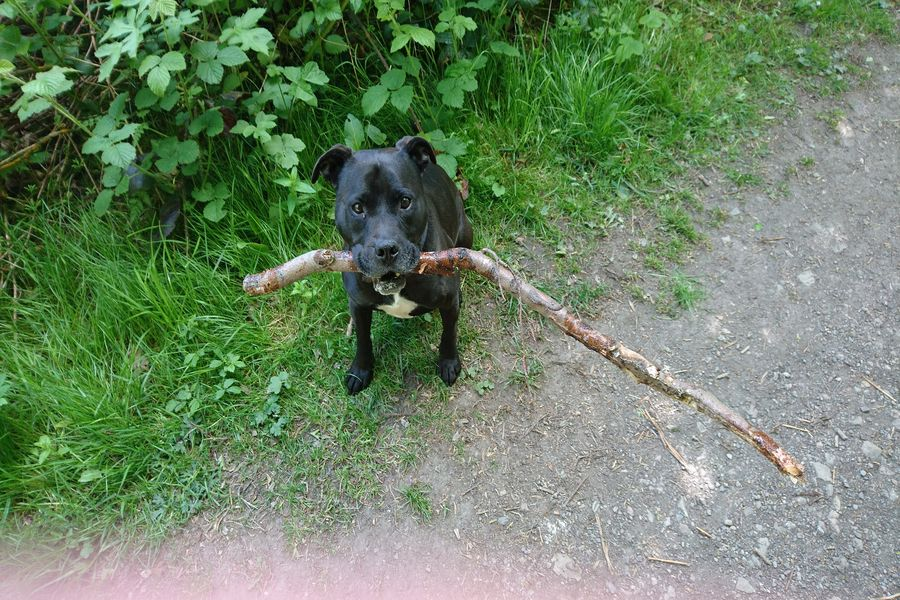 Staffordshire Bull Terrier carrying a stick on his mouth