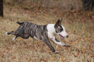 A brindle-colored Bull Terrier running in the forest