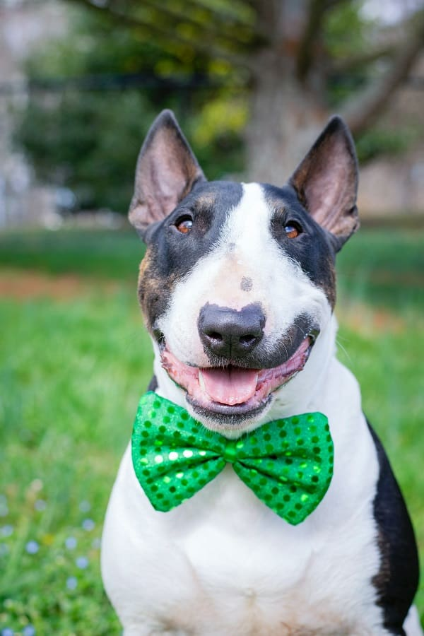 A Bull terrier with a green ribbon bow