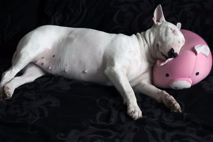 Bull Terrier sleeping on a pink stuffed toy