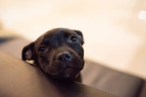 A black Staffordshire Bull Terrier puppy on a leather couch