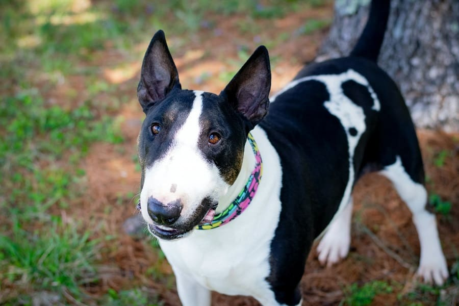 A Bull Terrier with black and white coat