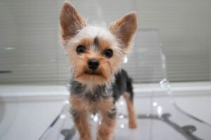 Yorkshire Terrier standing on a clear plastic chair