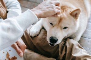 Akita dog bonding with owner